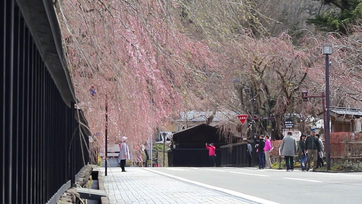写真:角館桜まつり